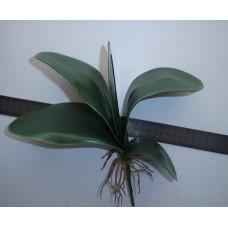 Большие листья орхидеи фаленопсис с корнями